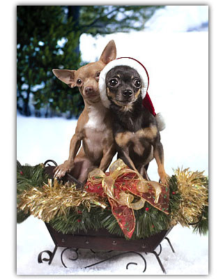 Chihuahua Holiday Card Set