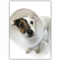 Jack Russell Get Well Card