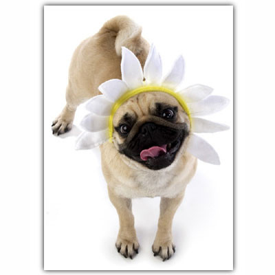 Pug Daisy Birthday Card