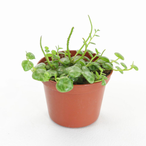 """2 inch Peperomia Prostrata """"String of Turtles"""" (Full View)"""