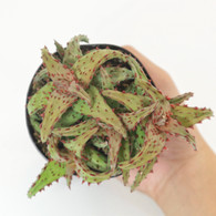 """3.5 inch Rare Aloe """"Castilloniae"""" (Top View)"""