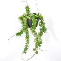 "6 inch Hoya Compacta ""Hindu Rope Plant"" (Full View)"