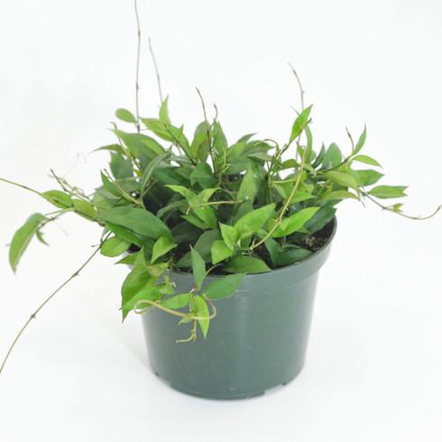 "6 inch Hoya Lanceolata ""Bella"" (Full View)"
