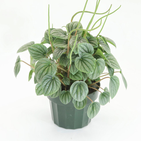 """6 inch Peperomia """"Ripple Frost"""" (Full View)"""