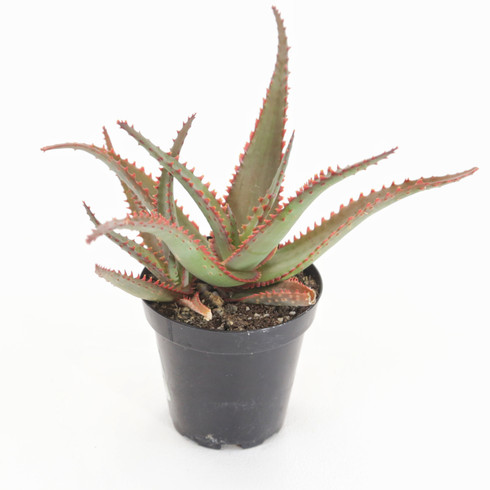 "3.5 inch Aloe ""Swordfish"" (Full View)"