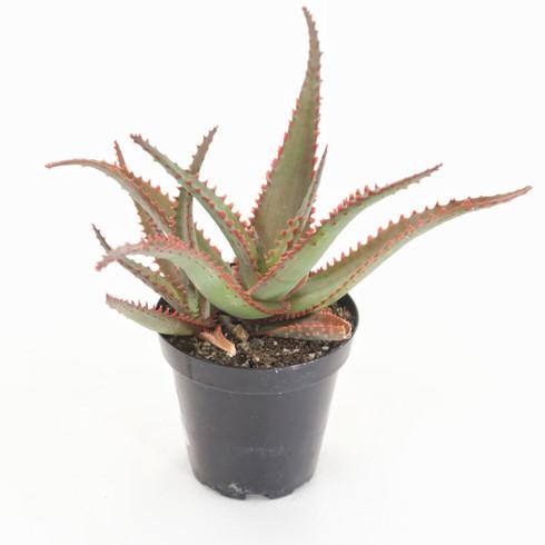 "3.5 inch Aloe ""Swordfish"" (Full View)"