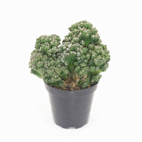 "3.5 inch Monstrose Cactus ""Mini"" (Full View)"