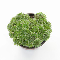 "6 inch Hens and Chicks Sempervivum ""Cobweb"" Cluster (Top View)"