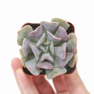 "2 inch Echeveria ""Cubic Frost"" (Top View)"