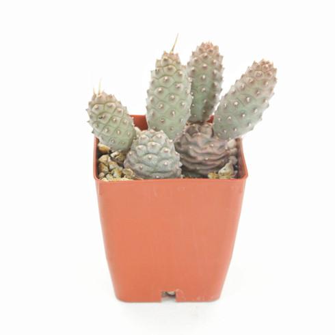"""3 inch Tephrocactus Articulatus """"Pine Cone"""" (Full View)"""