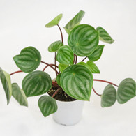 Peperomia Watermelon from Redeeming Eden Front View