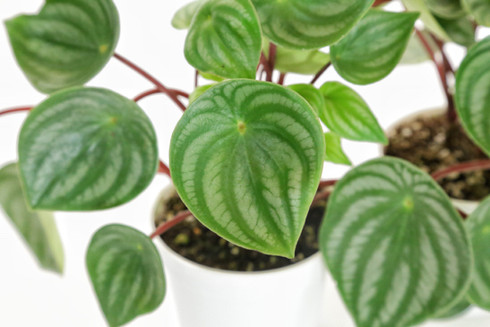 Peperomia Watermelon from Redeeming Eden Detail View