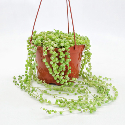 6 inch String of Pearls (Full View)