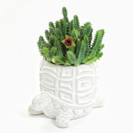"""6 INCH Huernia Insigniflora """"Life Saver"""" Shown in turtle pot sold separately (Full View)"""