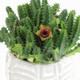 "6 INCH Huernia Insigniflora ""Life Saver"" detail view (Full View)"