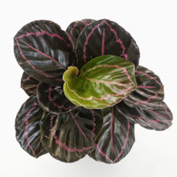 "Calathea roseopicta ""Dottie""  (Top View)"