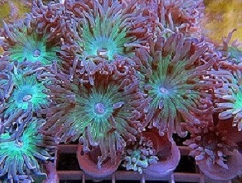 Duncanopsammia axifuga, also commonly called whisker coral, duncanops coral, or simply duncan coral, is a type of LPS (Large Polyp Stony) coral. Duncanopsammia axifuga is a species of coral often encountered in the aquarium trade.
