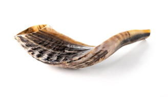 """Full natural Bright Ram Horn Kosher Shofar size 14""""+"""