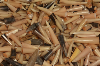 100 Pcs Kudu Horn Polished Shofar Tips