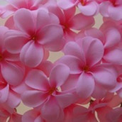 Tropical pink colour frangipani LED fairy lights