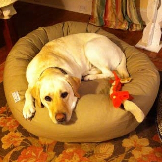 kahaki-yellow-lab-bolster-bed.jpg