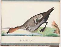 Australian wood duck, 1790s
