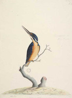 Azure kingfisher, 1790s