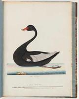 Black swan, 1790s