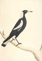 Black-backed magpie, 1790s
