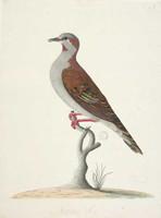 Brush bronzewing pigeon, 1790s