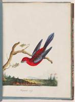 Crimson rosella, 1790s