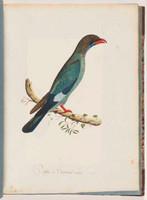 Dollar bird, 1792