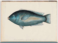 Eastern blue groper, c.1790