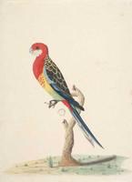 Eastern rosella, 1790s