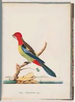 Eastern rosella, c.1790