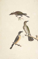 Golden bronze cuckoos and Rufus whistler, 1790s