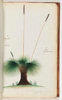 Grass Tree, 1790s