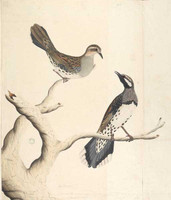 Ground thrush, 1792