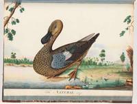 Hawkesbury duck, 1790s