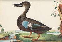 Hawkesbury duck, c.1790