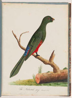 King parrot (female), 1790s
