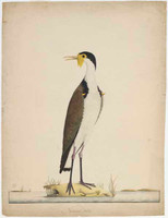 Masked lapwing or Spur-winged plover, 1790s