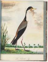 Masked lapwing, 1790s