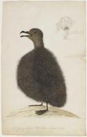 Mt Pitt Bird, 1790s
