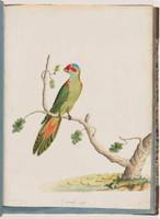 Musk lorikeet, 1790s
