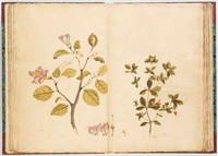 Norfolk Island hibiscus, 1790s