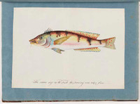 Possibly a stylised Wrasse, c.1797