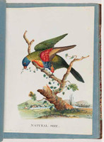Rainbow lorikeet, 1790s