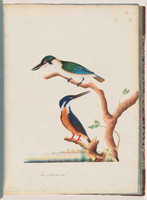 Sacred kingfisher and Azure kingfisher, 1790s