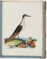 Sooty tern, 1790s